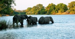 elephants-crossing-the-zambezi-1496204-1279x665