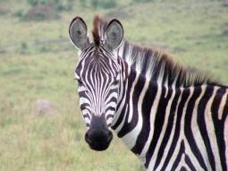 zebra-1472159-1280x960